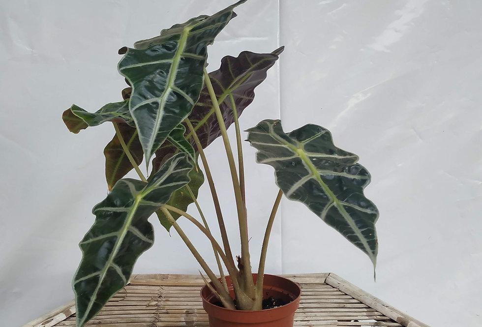 אלוקסיה אמזונית