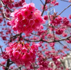 ぼんぼんの寒緋桜🌸