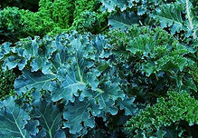 Kale is one of the healthiest vegetables. http://www.forgetthepain.com/#!kale-is-a-keeper/c201l