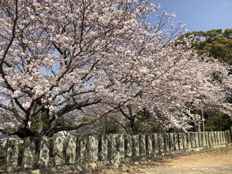 【桜も見頃】