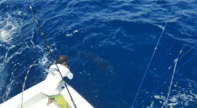 2 Sail fish / 1 Blue Marlin
