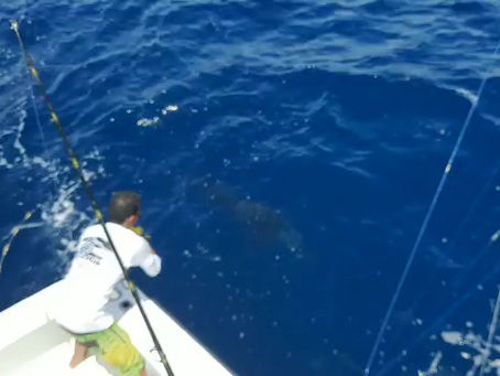 2 Sail fish / 1 Blue Marlin
