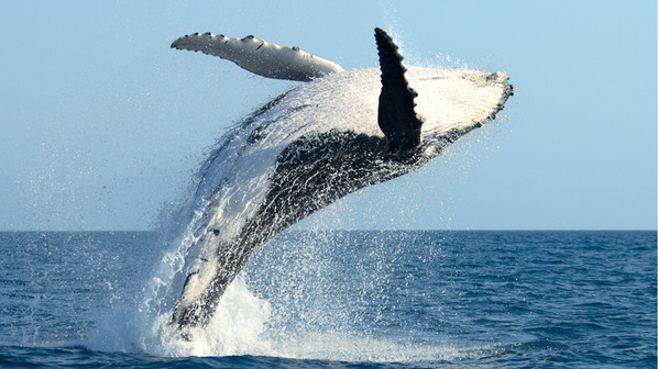 humpback_whale_breach.jpg