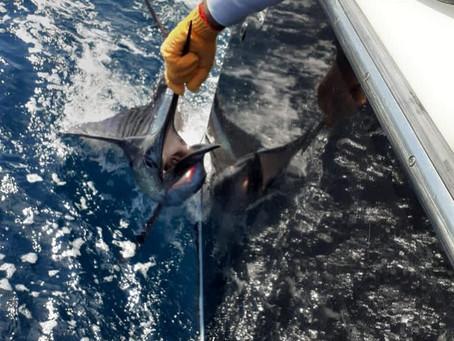 Blue Marlin Fishing Quepos
