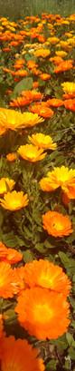 calendulas bio - conques - aveyron