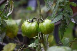 tomates dans le potager