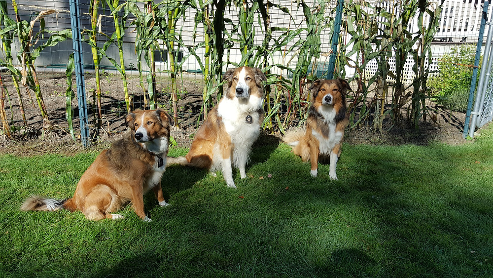 Ginger, Lacy and Charie...good dogs who are used to posing for pics.