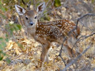Public Hearing on Ann Arbor Deer Management - Monday, Nov. 14