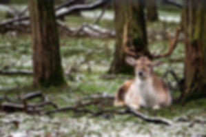 Ann Arbor deer