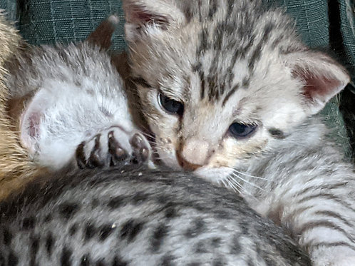 Either F4 OR F5 Kitten Deposit