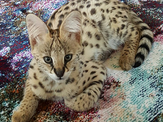 Serval Boomer as baby