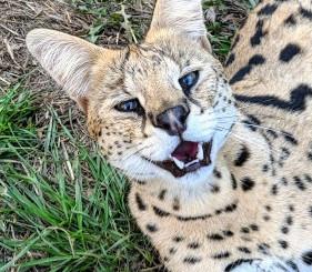 "Adult Serval ""Boomer"""