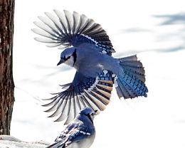 Blue Jay Snow Image #14