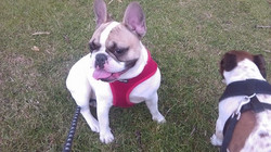 Vivienne (French Bulldog)
