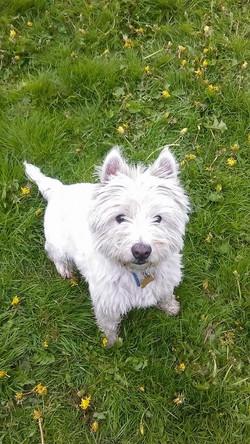 Scottie (West Highland White)
