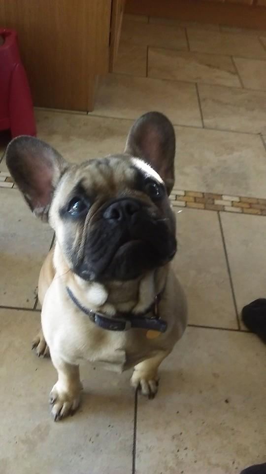 Rossi (French Bulldog)