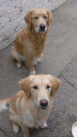 Luke & Polo (Golden Retrievers)