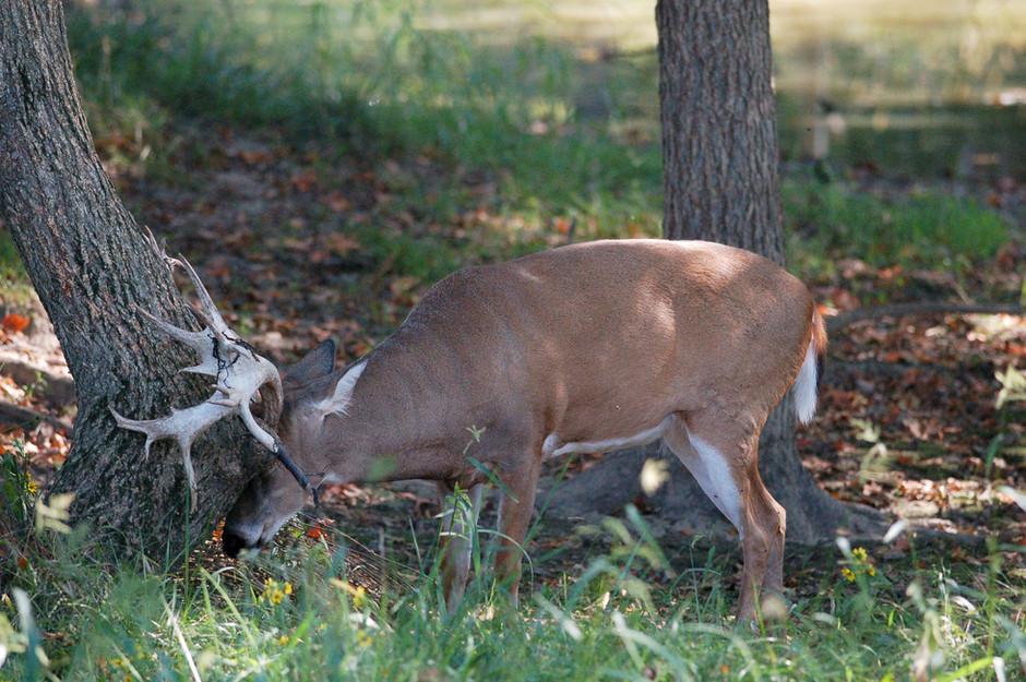 Why Do Bucks Make Rubs?