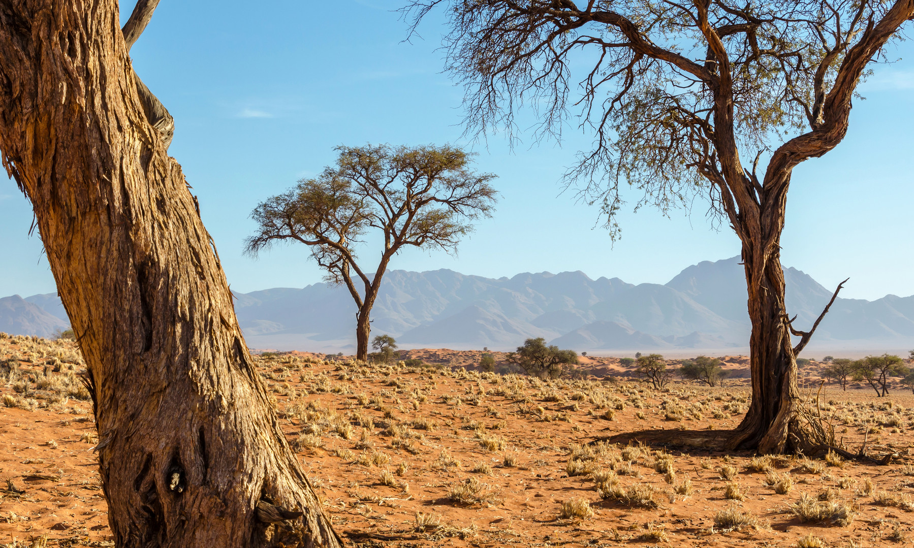 CAMELTHORN TREES
