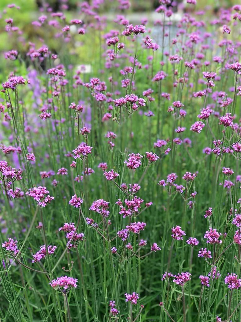 Verbena Bonariensis Blüten Wiese