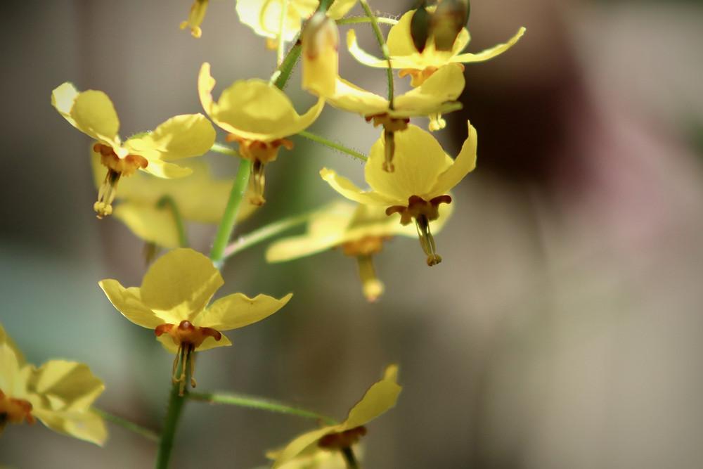 Blütenstand gelb blühende Elfenblume