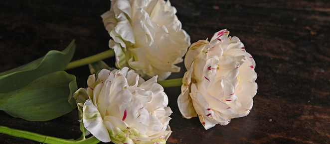 110,000 EURO FOR ONE TULIP | The tale of Tulip Mania