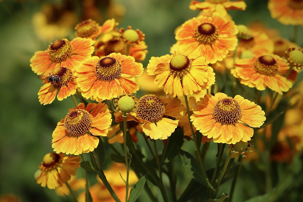 Blumenstrauß Sonnenbraut orange und gelb blühend