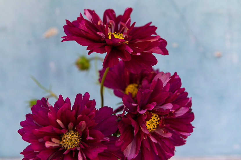 mycottagegarden_flowers782© 2020 Janina