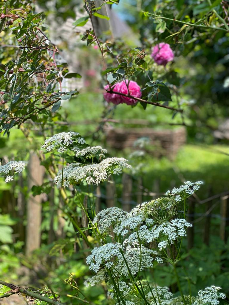Giersch vor rosa Rose