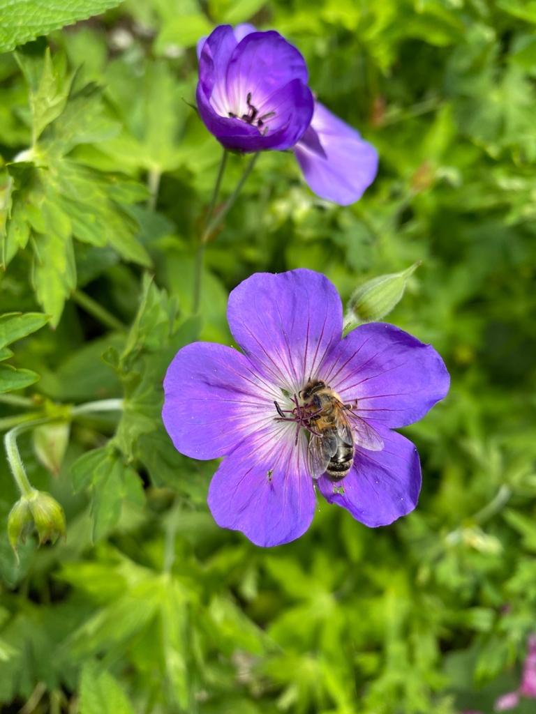 Biene auf Blüte eines violetten Storchschnabel