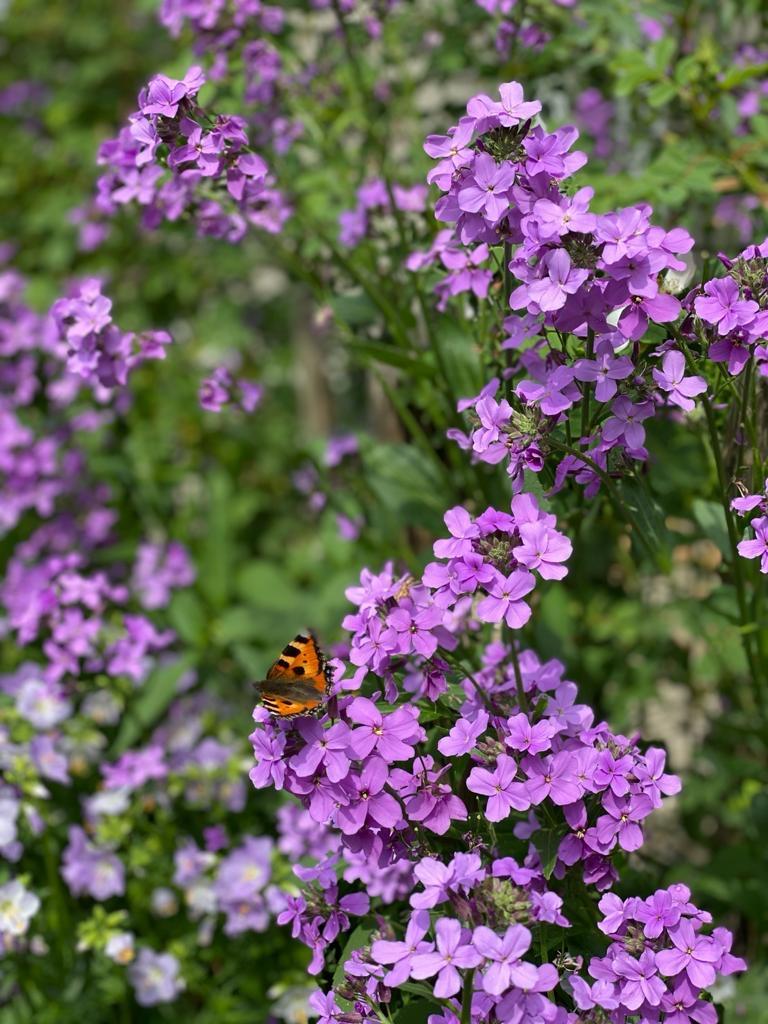 Nachtviole Blüten violett mit Schmetterling