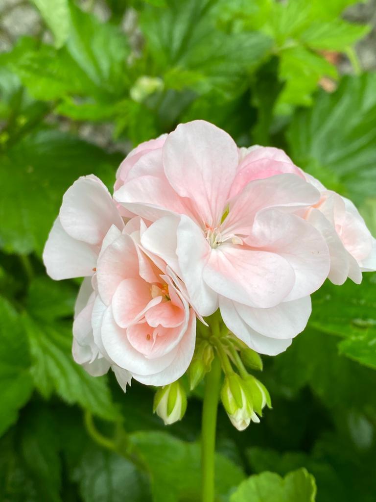 Blute weiß und hell-pfirsichfarbene Pelargonienblüte