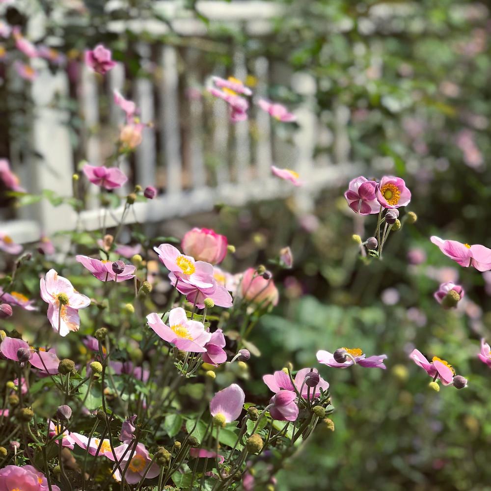 Herbstanemonen Blüte