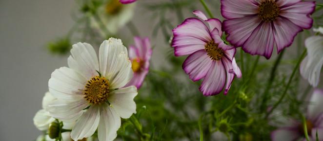 KOSMEEN - alles was Du für einen blütenreichen Sommer mit Schmuckkörbchen wissen solltest