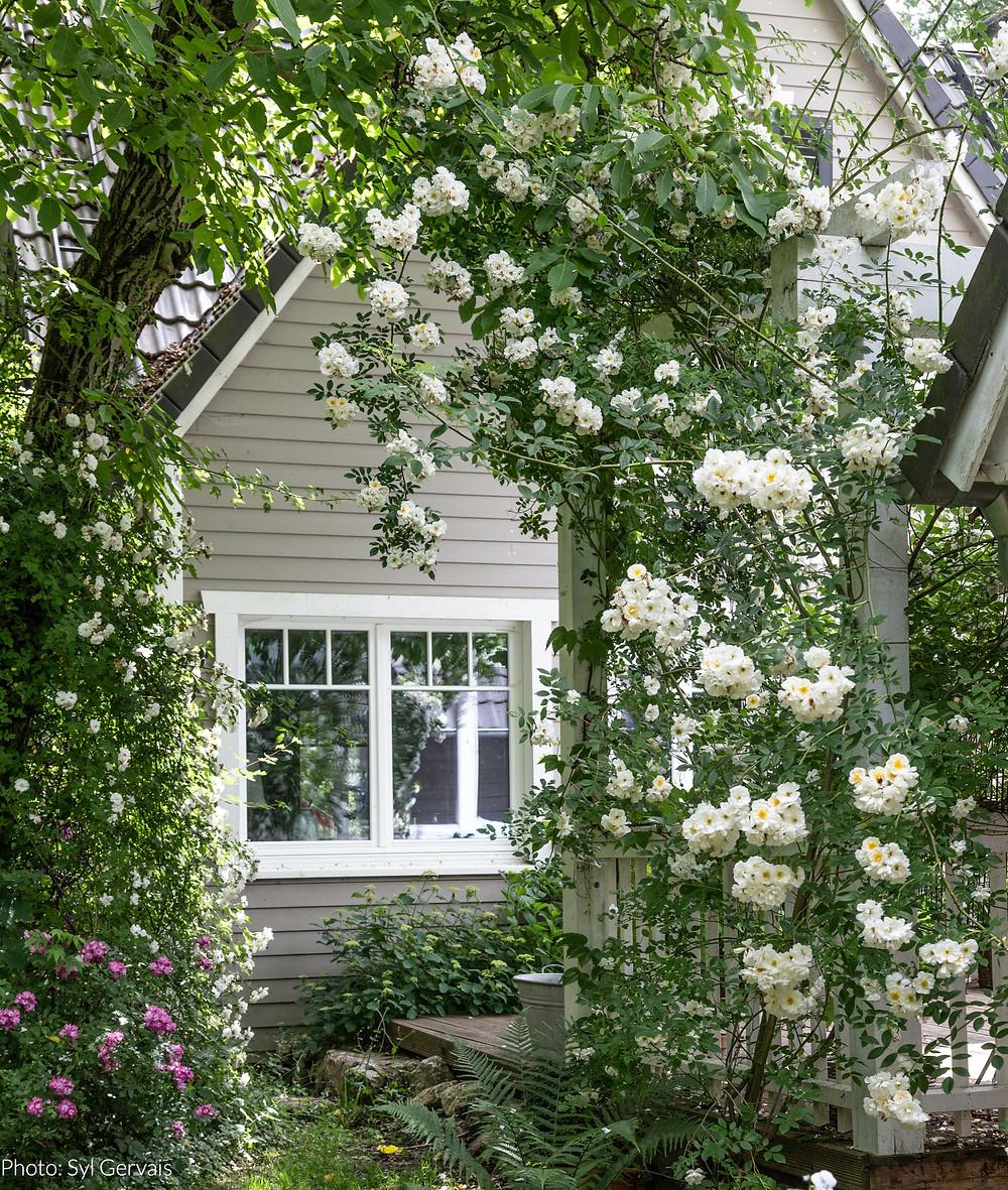 My Cottage Garden Roses