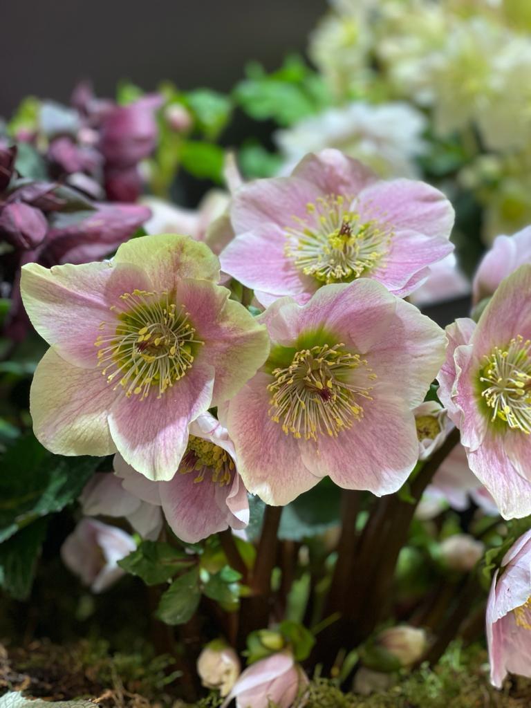 hellrosa und grüne Blüten Christrose