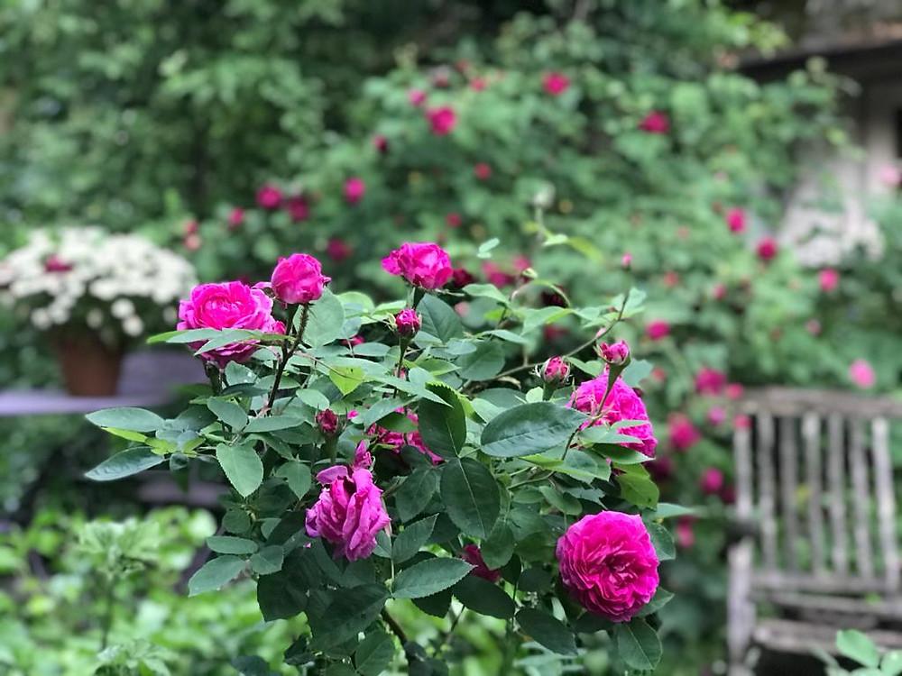 Busch Rose dunkelrosa