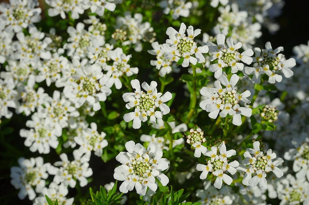 Schleifenblume weiß blühend