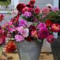 WUNDERVOLLE DAHLIEN - Großartige Farbenpracht im Garten