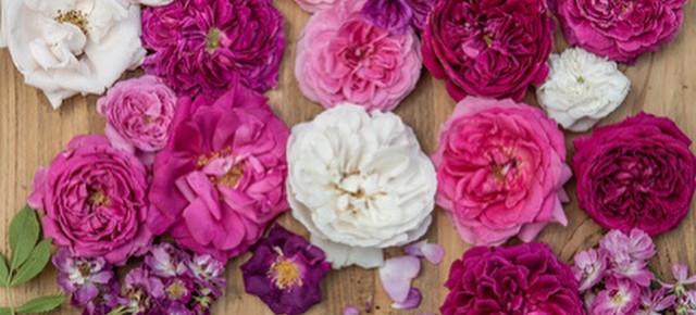 DIE WAHL DER RICHTIGEN ROSE oder welche Rose passt in meinen Garten?