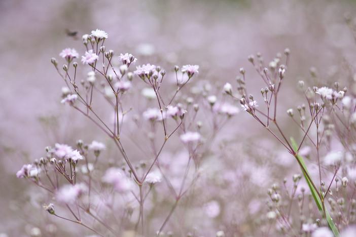 PURE ROMANCE FOR YOUR GARDEN | 'Creeping Gypsophila' (Gypsophila repens)