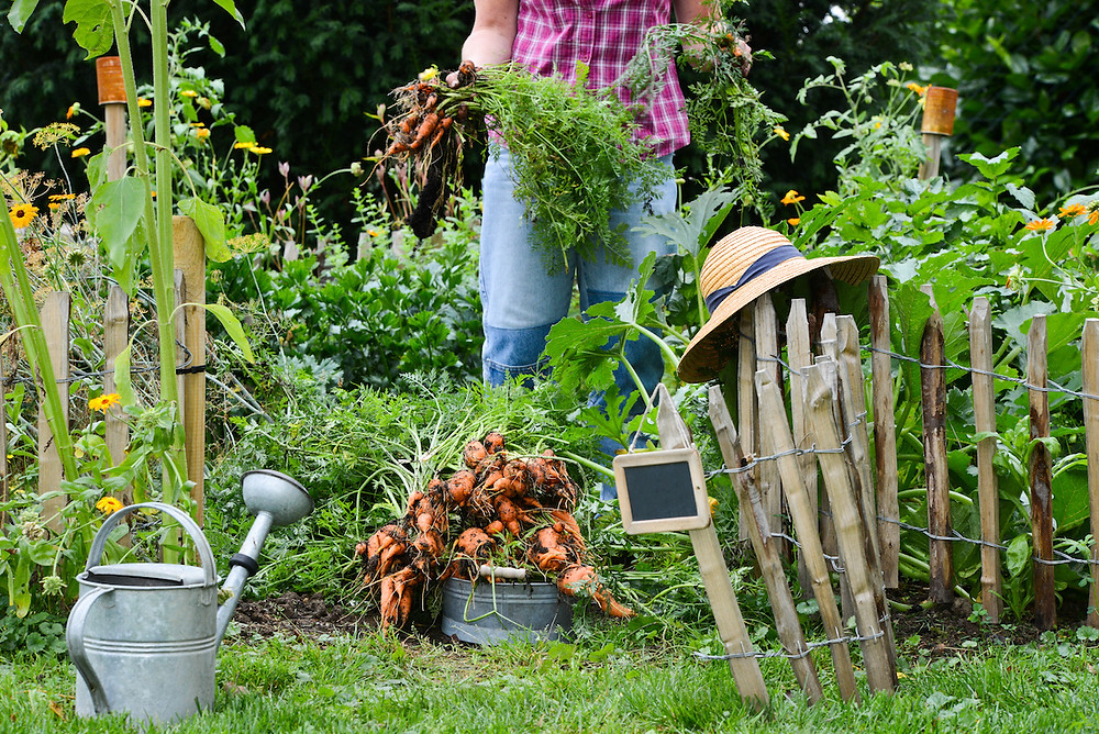 Frau im Bauerngarten mit Karotten