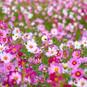 KOSMEEN SÄEN UND PFLEGEN - alles was Du für einen blütenreichen Sommer mit Schmuckkörbchen wissen so