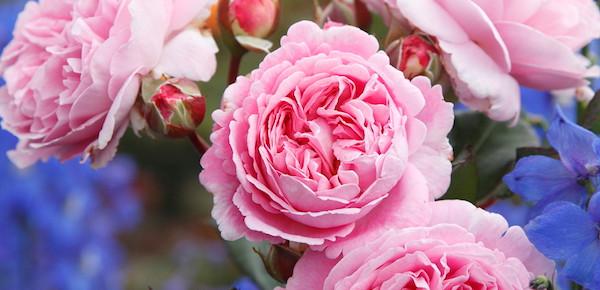 ZEIT FÜR EIN NEUES IMAGE - von Diven und Mimosen zu robusten, gesunden Rosen