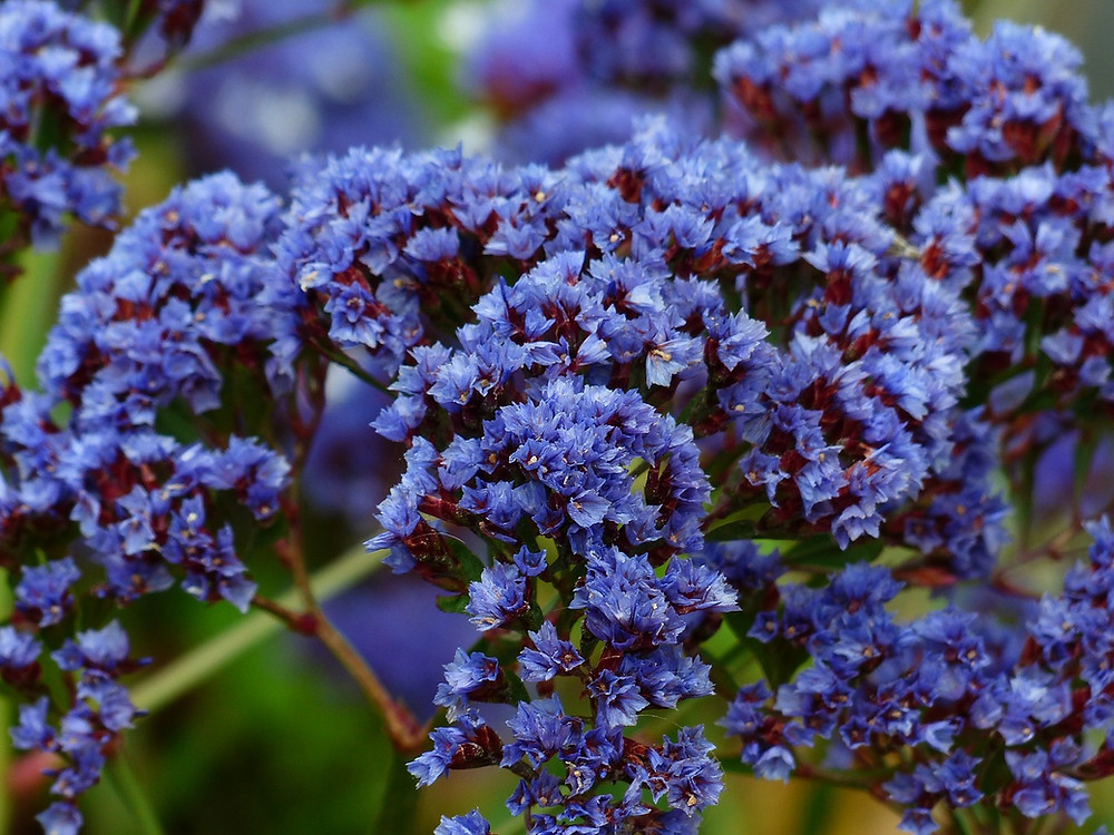 Strandflieder blau blühend