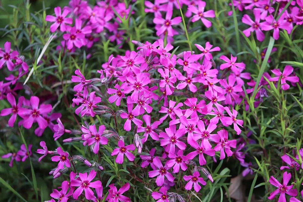 Ansammlung viele kleine Blüten pinker Polsterphlox