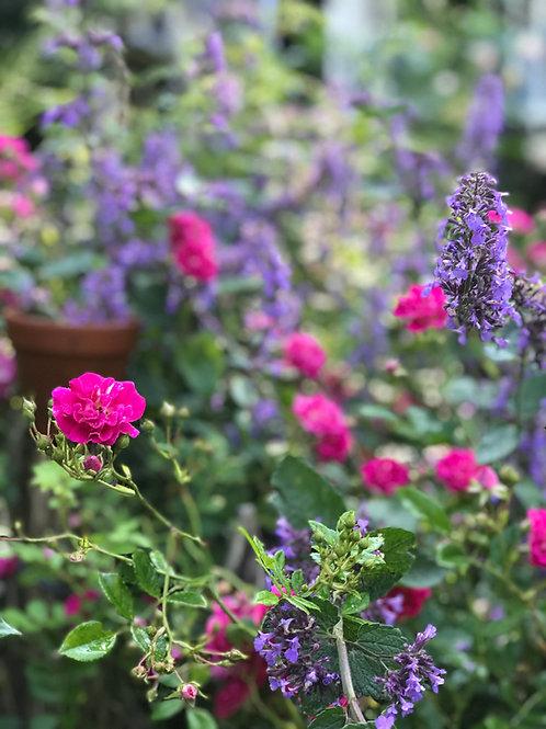 Das Parfum des Cottage Gartens - kleines Beet