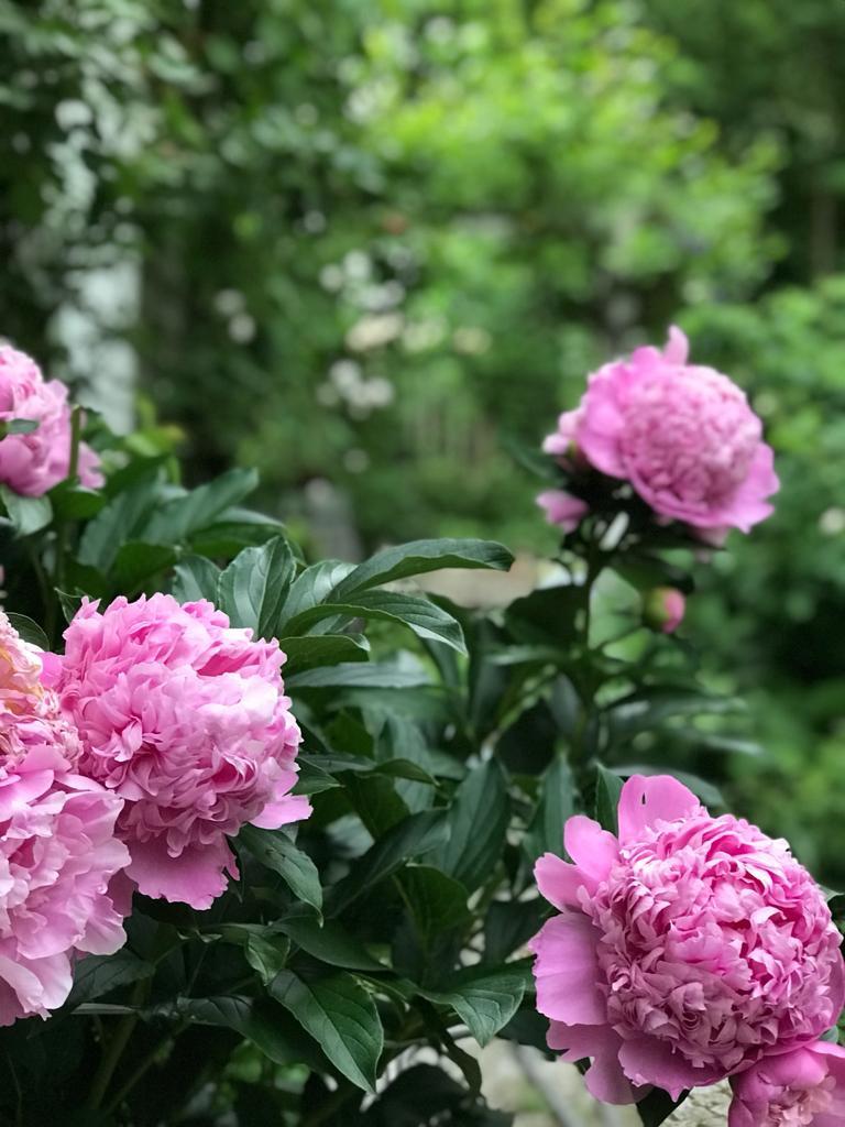 Pfingstrose pink Strauch