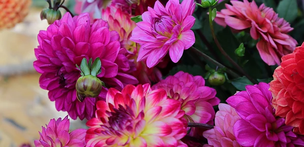 DELIGHTFUL DAHLIAS | A sea of color for your garden