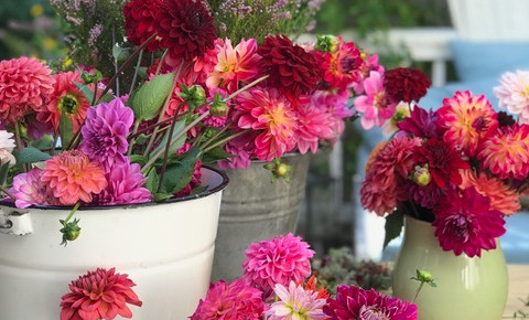 DAHLIEN - Wundervolle Farbenpracht im herbstlichen Garten